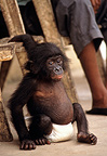 Young Bonobo with a nappy Congo (Bonobo)