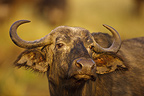 Portrait of Cape Buffalo in Savannah Masai Mara Kenya  (Cape buffalo)