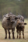 Family of Cape Buffalos and Oxpecker Nakuru Kenya (Cape buffalo)