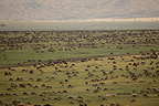 Wildebeest migration in Masai Mara Kenya savannah  (Wildebeest)