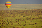 Air-ballon and Wildebeest migration in Masai Mara savannah  (Wildebeest)