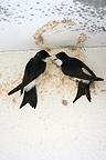 Northern House-martin Spain (House Martin)