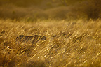 Male cheetahs lying in wait in the grass Masai Mara� (Cheetah)
