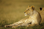 Lioness lying in the savannah Masai Mara Kenya  (African lion)