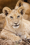 Portrait of Lion Cub in the savannah Masai Mara Kenya  (African lion)