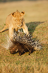 Young male lion chasing a porcupine Masai Mara Kenya (African lion; North African crested porcupine)