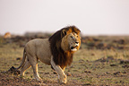 Male lion walking through the savannah Masai Mara Kenya (African lion)