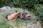 Tenderness a Northern Chamois to his young resting France (Chamois)