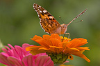 Painted Lady on a Zinnia flower in a garden in summer, France