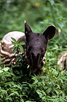 Young Malayan Tapir eating leaves Sumatra (Malayan tapir)