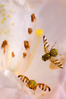 Flies in the flowers of spring rhododendron France