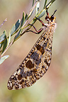 Wings closed Antlion in France