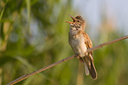 Great Reed-warbler singing on a reed near a pond France (Great Reed Warbler)