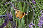 Observation with a magnifying glass of a Painted Lady on Lavender, France