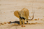 African Elephant drinking in a dry riverbed Samburu Kenya (African elephant)