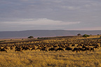 Migrating wildebeest in the savannah Masai Mara Kenya (Wildebeest)