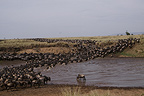 Wildebeest crossing the Mara river during migration Kenya (Wildebeest)