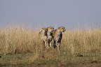 Male cheetahs on the lookout in the Savannah Masai Mara Kenya (Cheetah)