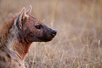 Portrait of Hyena who stole the prey of a Leopard Masai Mara (Spotted Hueyna)