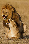Mating Lions in the Savannah Masai Mara Kenya  (African lion)