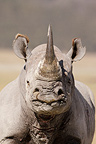 Portrait of White rhino female Nakuru Kenya� (White rhinoceros)