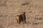 Couple of Caracal in the Savannah Masai Mara Kenya  (Caracal)