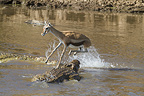 Crocodile attacking a gazelle in water Masai Mara Kenya