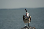 Brown Pelican exposing his glottis, Fort Island Beach, Florida . This gesture, often accompanied by movements of the beak, is to stretch the gular pouch and re-arrange the oesaophagus, trachea, and the air bag system of the throat and upper chest.