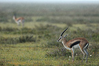 Thomson's Gazelle in savannah Tanzania (Thomson's Gazelle)