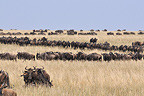 Common Wildebeest migrating in the Masa�-Mara NR Kenya (Wildebeest)