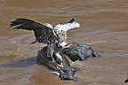 White-backed vulture on the carcass of a Wildebeest, Kenya
