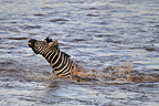 Nile crocodile attacking a Plains Zebra Masa�-Mara NR Kenya (Nile Crocodile; Burchell's zebra )