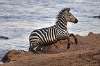Plains Zebra leaving the river rushed Kenya (Nile Crocodile; Burchell's zebra )