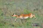 Black-faced Impala jumping Masa� Mara NR Kenya (Black-faced Impala)
