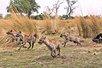 Group of Spotted Hyaena running Botswana (Spotted Hueyna)