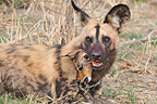 African Wild Dog and a young Impala in the mouth Botswana (African wild dog)
