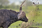 African Buffalo is shaking mud in Masai Mara NR Kenya (Cape buffalo)