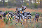 Plains Zebras in savannah in Botswana (Burchell's zebra )