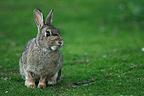 Wild Rabbit sitting in the grass Britain France (European rabbit)