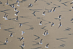 Gulls in the Bay Audierne in Finist�re France (Gull)