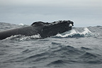 Head of humpback whale swimming in the South Pacific area  (Humpback whale)
