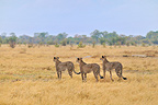 Group Cheetahs in the savanna of Botswana (Cheetah)
