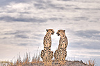 Two Cheetahs sit in the savannah of Botswana (Cheetah)