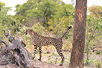 Cheetah marking its territory Botswana (Cheetah)