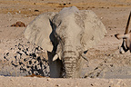 African elephant taking a mud bath Etosha NP Namibia (African elephant)