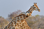 Affection between two Giraffes in Etosha NP Nambia  (Giraffe)
