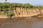 River crossing during the wildebeest migration Kenya (Wildebeest)