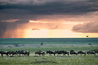 Common Wildebeest migrating in the Masai Mara NR Kenya (Wildebeest)