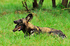 Wild dog eating an Impala Khwai Okavango Botswana (African wild dog)