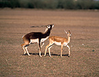Mating trial of Blackbuck (Blackbuck)
